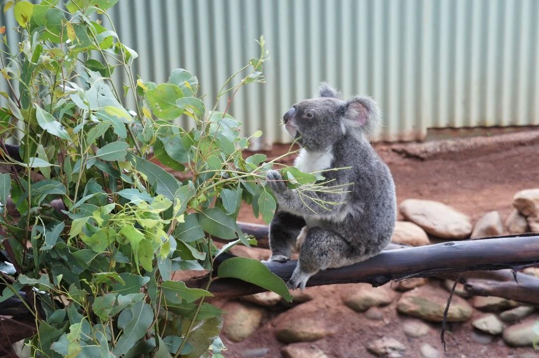 実物のコアラ